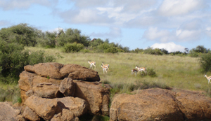 Namibia - Springbok and Giraffe